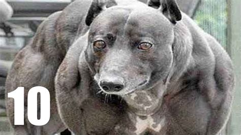 strong dogs top 10 strongest dogs in the world
