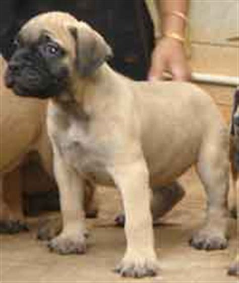 white pug puppies for sale in delhi bull mastiff puppies for sale in delhi breeds picture