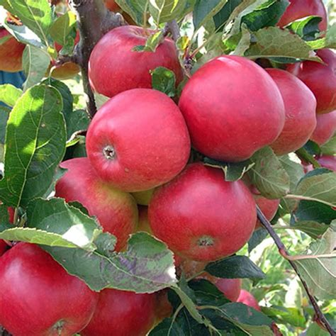 how for an apple tree to produce fruit apple falstaff apple trees for sale
