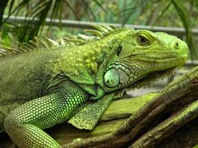 best pets blog your iguana cage what to consider