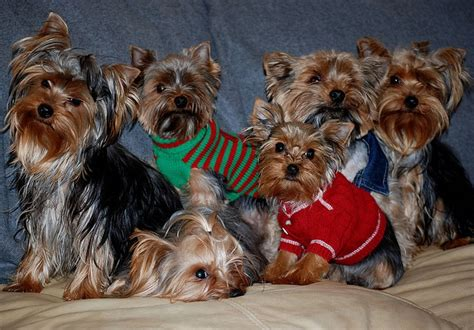 family yorkies yorkie family yorkie lover