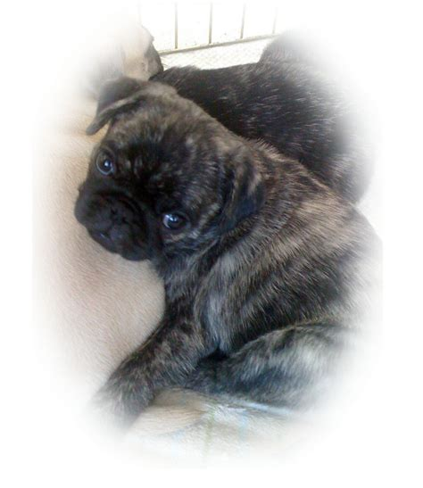 california pug breeders gamble pugs pug breeder el dorado california