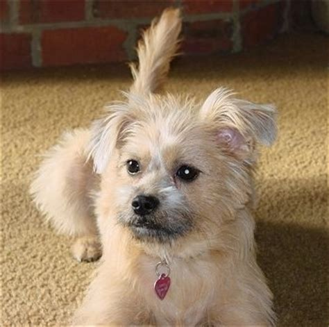 brussels griffon pomeranian mix american eskimo miniature breed pictures and images page 41 breeds picture