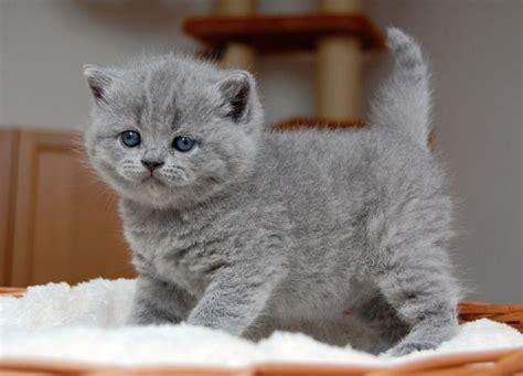 gratis kittens aangeboden kittens aangeboden newhairstylesformen2014 com