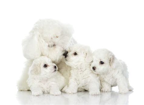 how many puppies are in an average litter how many puppies do bichon frises care the daily puppy