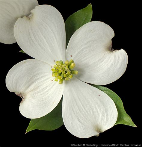 north carolina flower plant information center cornus florida