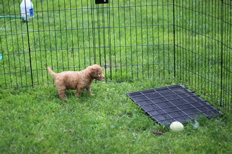goldendoodle puppy potty image gallery goldendoodles