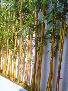Bibit Taman Wahyu Bambu Hoki tanaman bambu kuning mini daftar harga terbaru indonesia