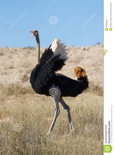 dominant ostrich royalty free stock photos image 26536838