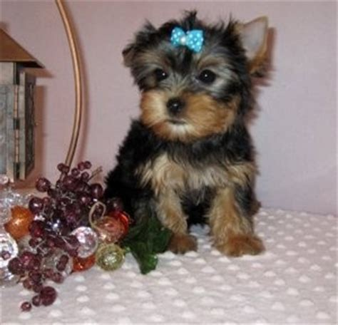 havanese breeders upstate ny bulldog puppies charming teacup yorkie puppies breeds picture