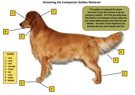 golden retriever ears grooming