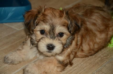 havanese puppies things you should before getting those havanese puppies urdogs