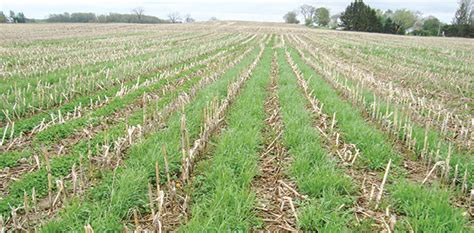 annual crops can boost forage production progressive forage