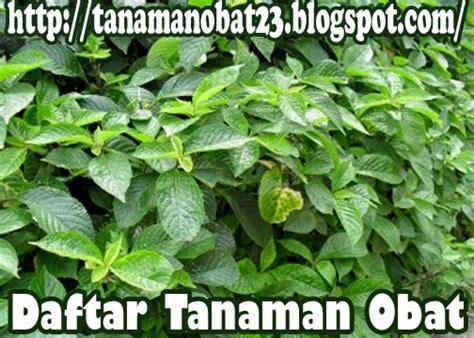 tanaman obat keji beling stachytarpheta mutabilis vahl