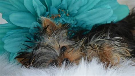 minimagic yorkie our dogs