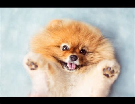 pomeranian in the world the 8 cutest breeds that existed you can t resist this amount of