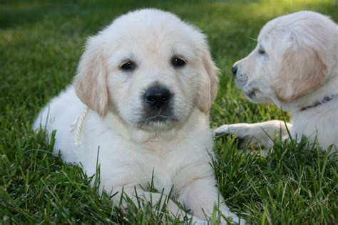 golden retriever mn breeders mapleleaf golden retrievers golden