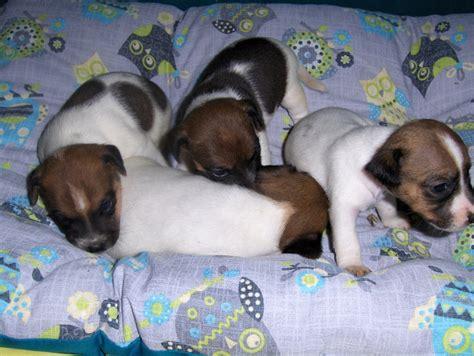 allevamento russel pavia cuccioli di vendita cucciolo di