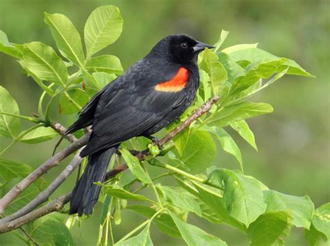 red winged blackbirds new hshire public radio