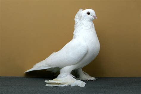 Search In The World Most Beautiful Pigeon In The World Search Other Things World