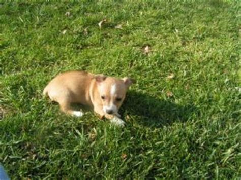teddy roosevelt terrier puppies for sale teddy roosevelt terrier puppies for sale from teddy roosevelt terrier breeds picture
