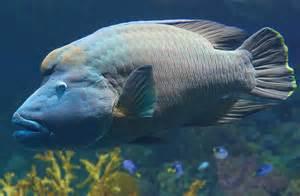 National Aquarium   Humphead Wrasse
