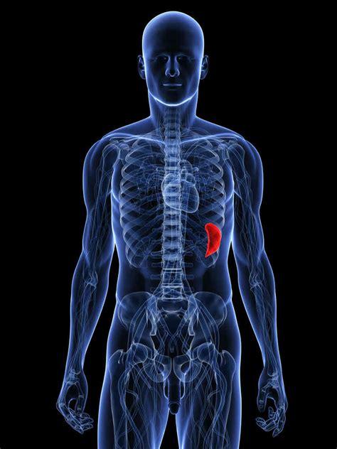 dolore interno fianco sinistro milza ingrossata e dolore alla milza cause e rimedi