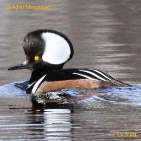 Different Names Of Green by Waterfowl North American Birds Birds Of North America