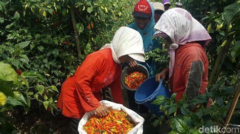dinas tanaman pangan rahasiakan bantuan benih cabai