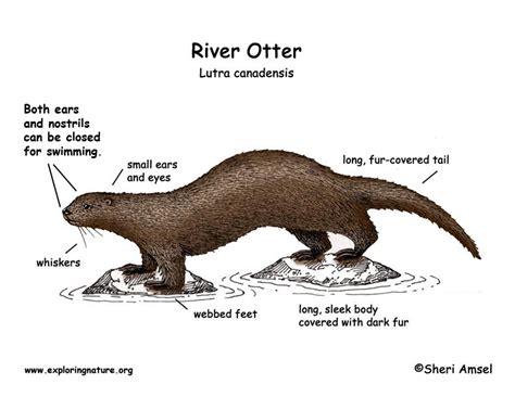 sea otter diagram otter river
