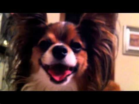pomeranian collapsed trachea symptoms tracheal collapse in dogs funnycat tv