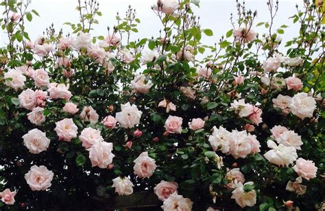 Rose New Dawn   Climbing Rose