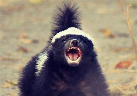 honey badger  memes  dictionarycom
