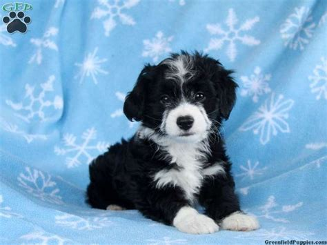 mini aussiedoodle puppies for sale snickers mini aussiedoodle puppy for sale from kinzers