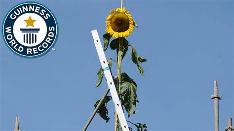 tallest sunflower guinness world records youtube