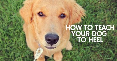 how to teach a puppy to heel teaching your to heel 13 tips thatmutt