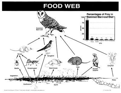 barn owl food web diagram desertcart