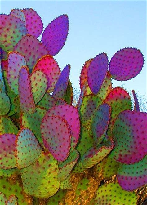 colorful cactus colorful cactus most beautiful pages natuur