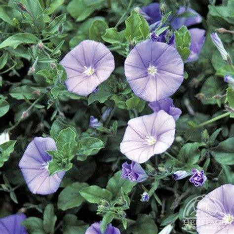 plant profile for convolvulus sabatius ground morning