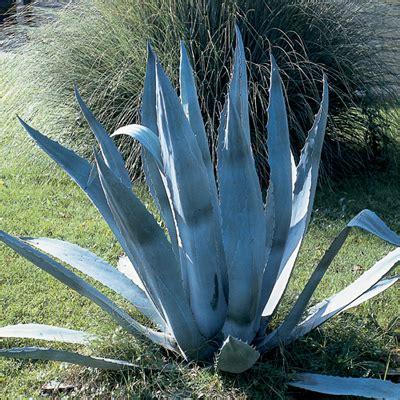 piante mediterranee da vaso piante mediterranee nomi piante da vaso erica carnea