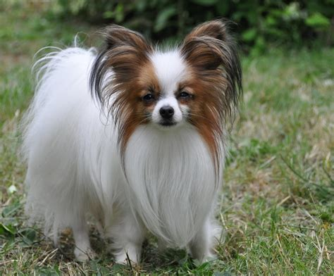 papillon puppy papillon breed pictures information temperament characteristics animals breeds