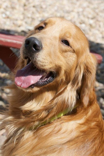 rescue a golden retriever best 25 golden retriever rescue ideas on kitten rescue near me