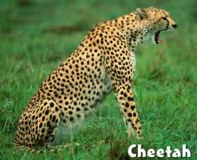 what color is a cheetah difference between leopard and cheetah print photos