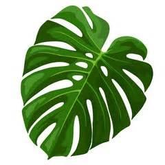 Indoor Tropical Foliage Plants - photos illustrations et vid 233 os de monstera