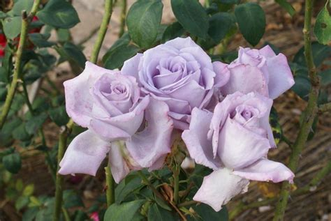 blue moon ludwigs roses