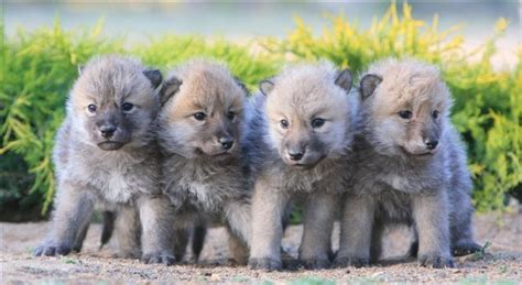 wolf puppies wolf ambassadors education