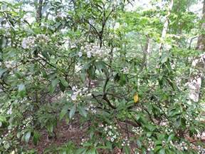 capital naturalist by alonso abugattas mountain laurel