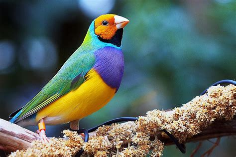 gouldian finches as pets species profile