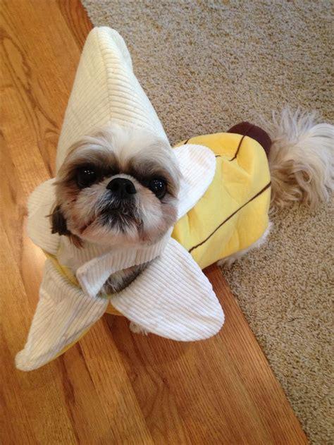 shih tzu costume shih tzu costumes breeds picture