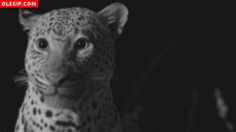 imagenes gif jaguar gif leopardo relami 233 ndose gif 315